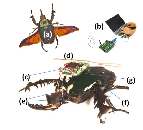 Radio-controlled live flying beetle demonstrated by US researchers