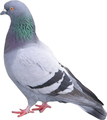 Pigeon and South Africa's Telkom Go Head-to-Head: Pigeon Wins by KO