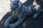 Police scramble chopper to stop rampaging stuffed tiger in Hampshire
