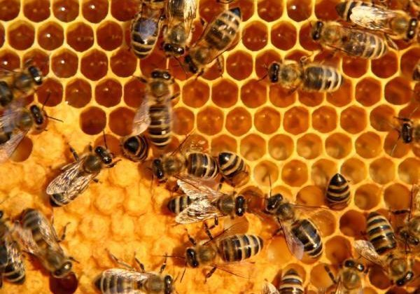 Bee deaths down to agriculture not armageddon say researchers