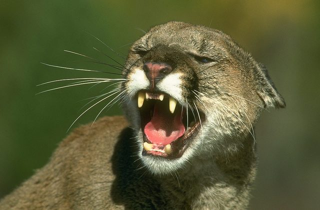 Mountain Lion could maul Windows 8