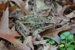 New York City reveals new species of frog
