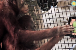 Smithsonian National Zoo orangutans score iPads in Apps to Apes program