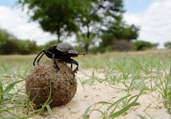 Dung beetle rolls balls of poo by navigating via the Milky Way