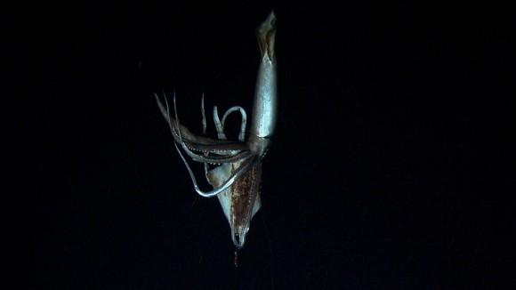 giant_squid_2