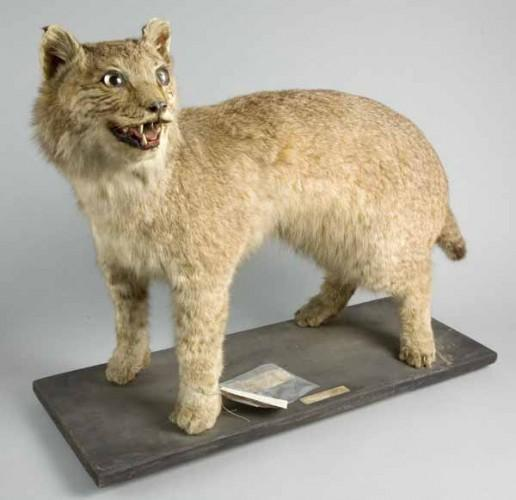 Edwardian-lynx-c-Bristol-Museum-Art-Gallery-600-px-tiny-April-2013