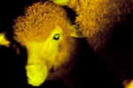Uruguay scientists genetically modify sheeps to glow in the dark