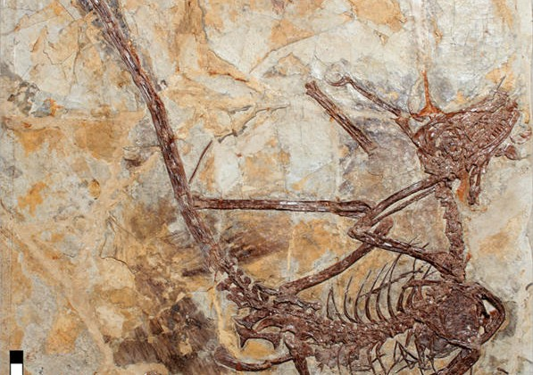 Microraptor terrorized land and water new dino research reveals