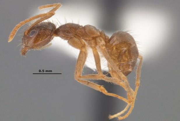 Gadget-eating crazy ants causing millions in damages