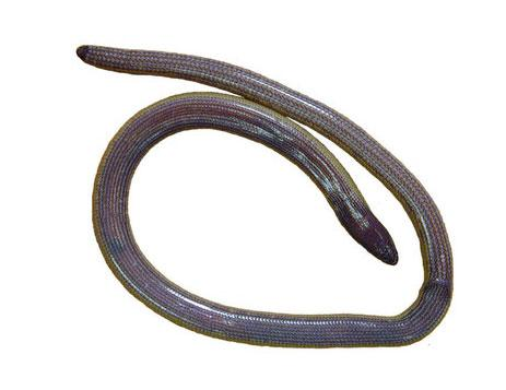 Scientists discover new legless lizard species in California