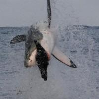 Scientists Determine Great White Shark lifespan is as long as a human's