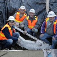 Mammoth tusk uncovered at Seattle building site moved to Burke Museum