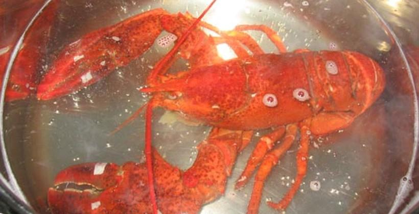 Researchers believe that crustaceans may feel pain