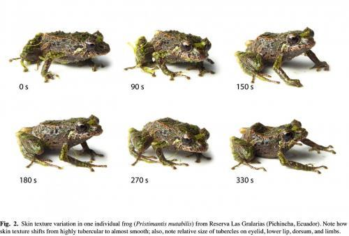 Researchers find shape-shifting frogs in the Andes