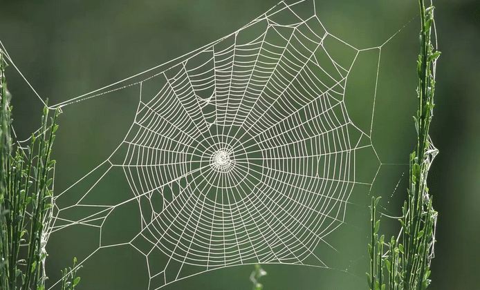 Spiders spiked with graphene weave ultra-strong webs