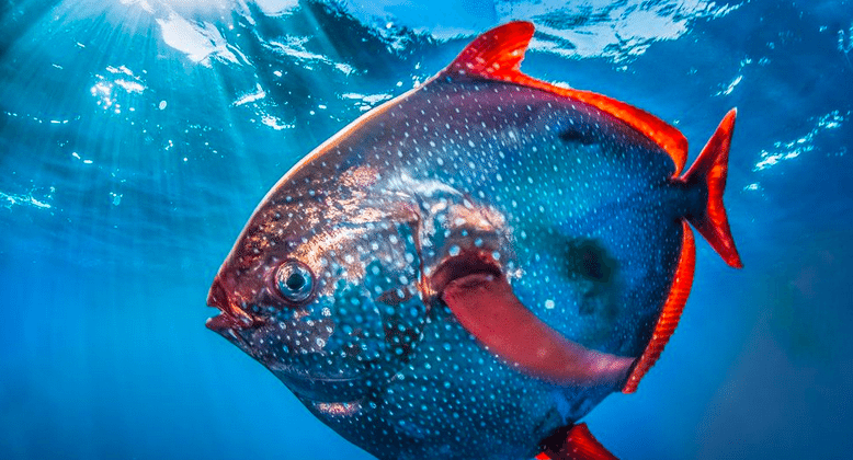 Moonfish found to be first warm-blooded fish
