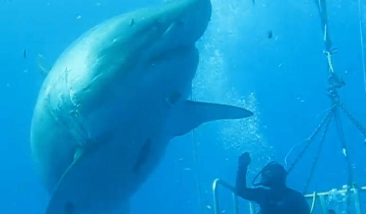 Massive great white shark filmed high-fiving diver