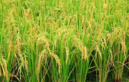GMO rice has high yield, cuts greenhouse gas emissions
