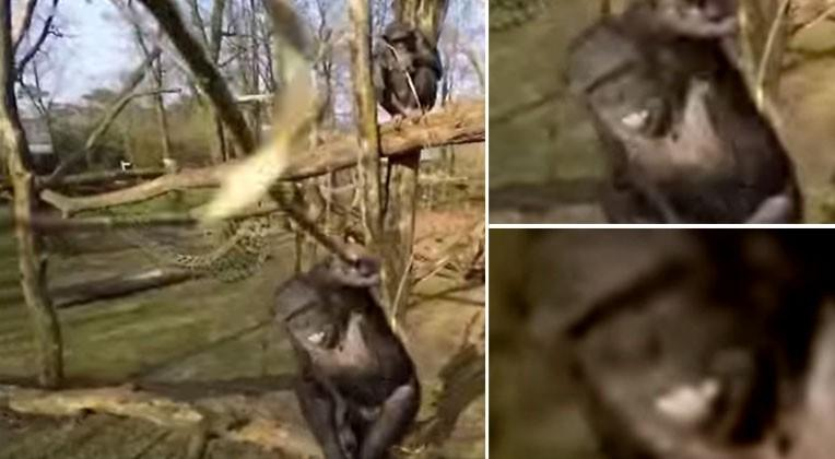 Vicious drone attack by sneaky chimp no accident say researchers
