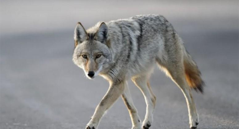 Millions of 'coywolf' coyote-wolf hybrids live in North America
