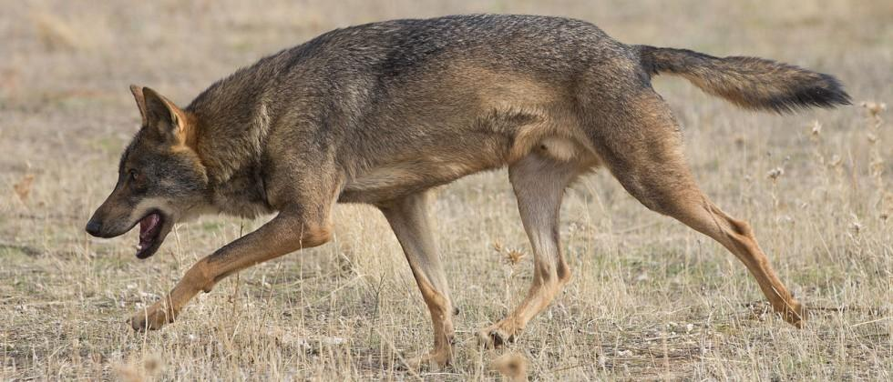 Study finds wolves prefer Chernobyl zone over nearby parks