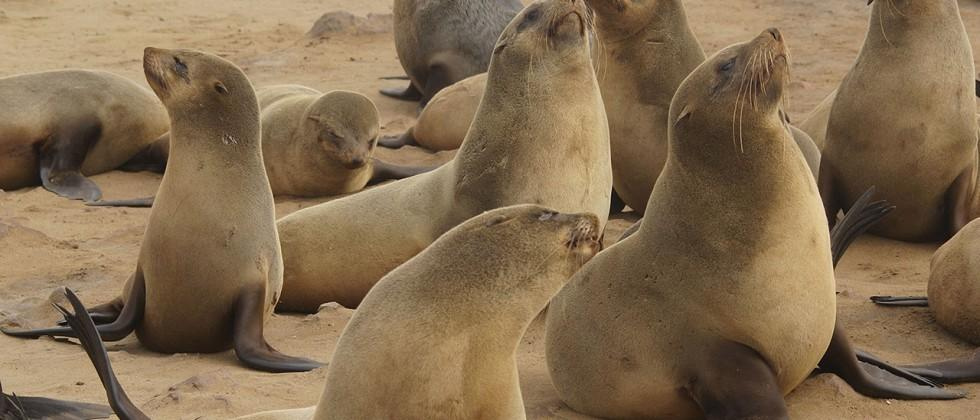 Toxic sea algae could be giving sea lions 'dementia'