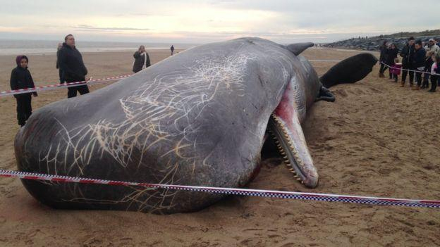 Whales wash ashore in England, one explodes during probe