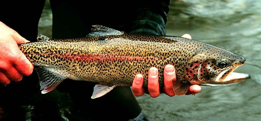 Study finds rapid DNA changes in hatchery-raised trout