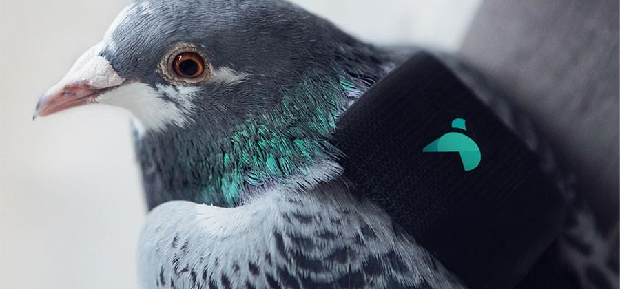 Sensor laden pigeons test for air pollution in London