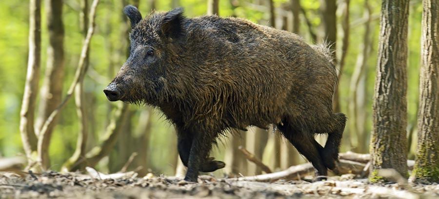 Radioactive boars are taking over Fukushima farmland