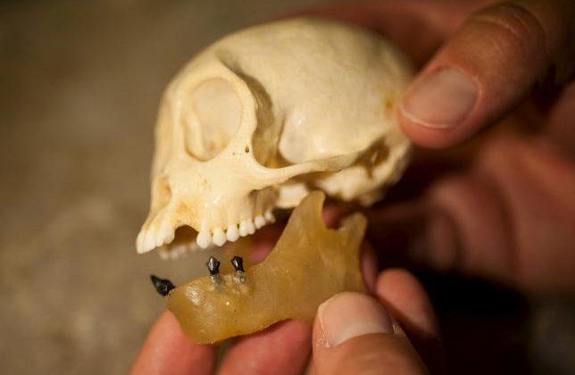 Study suggests monkeys crossed the ocean 21 million years ago