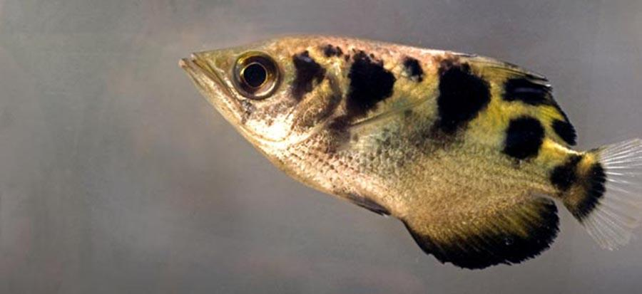 Study: archerfish can learn to accurately recognize human faces