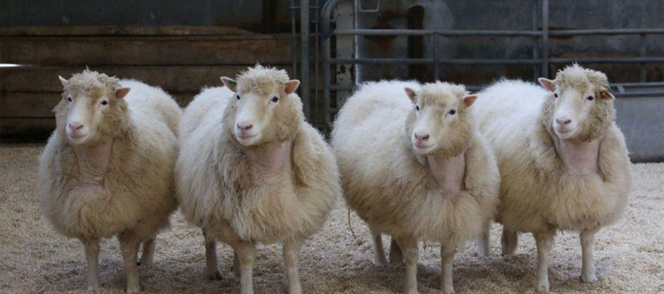 New study shows cloned sheep are living long lives with few health problems