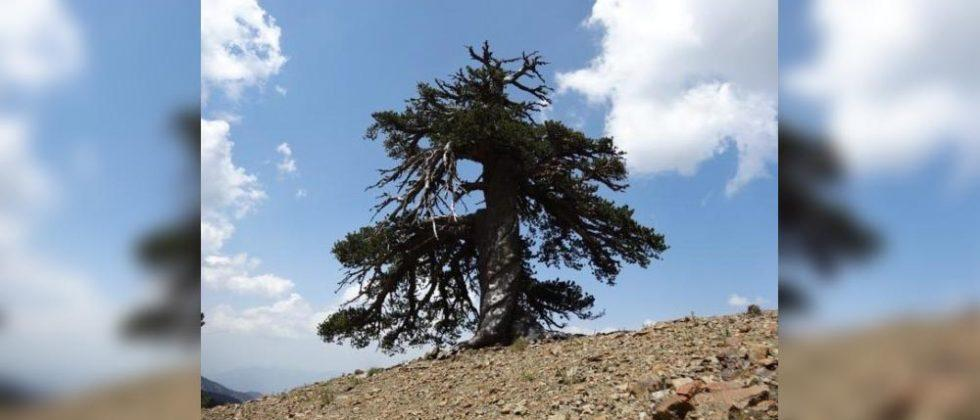 'Adonis' is Europe's oldest tree with an age of 1,075 years