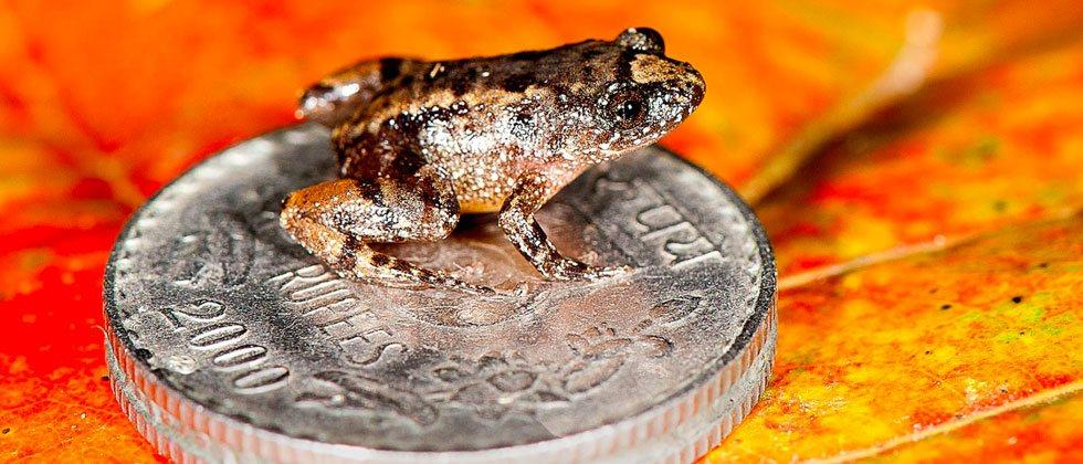 Penny-size frog found in India