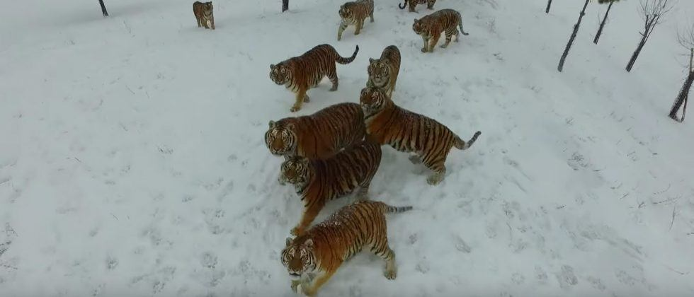 Watch Siberian tigers take down a flying drone