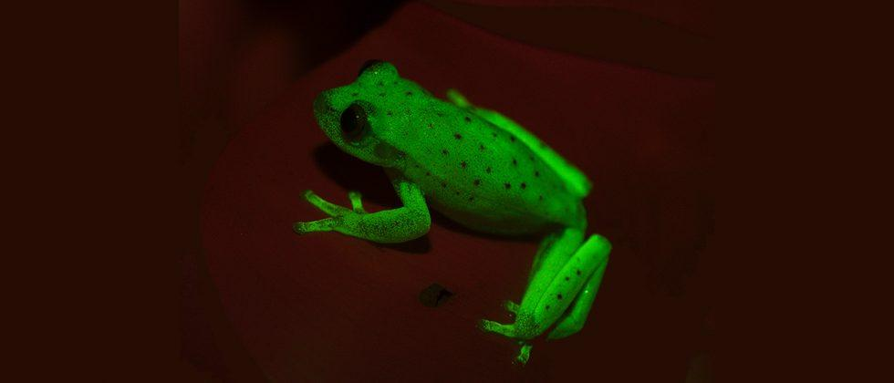Nature made this frog fluorescent, and it's one of a kind