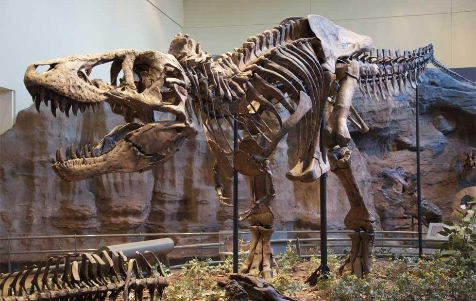 Tiny T-Rex arms could have been for slashing prey