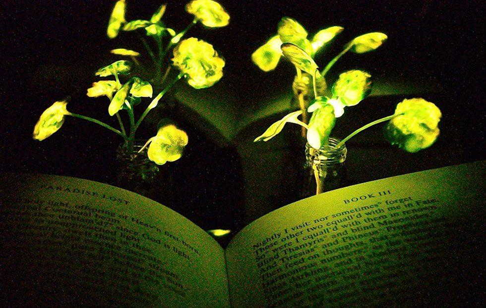 MIT engineers create glowing plants to replace electrical lights