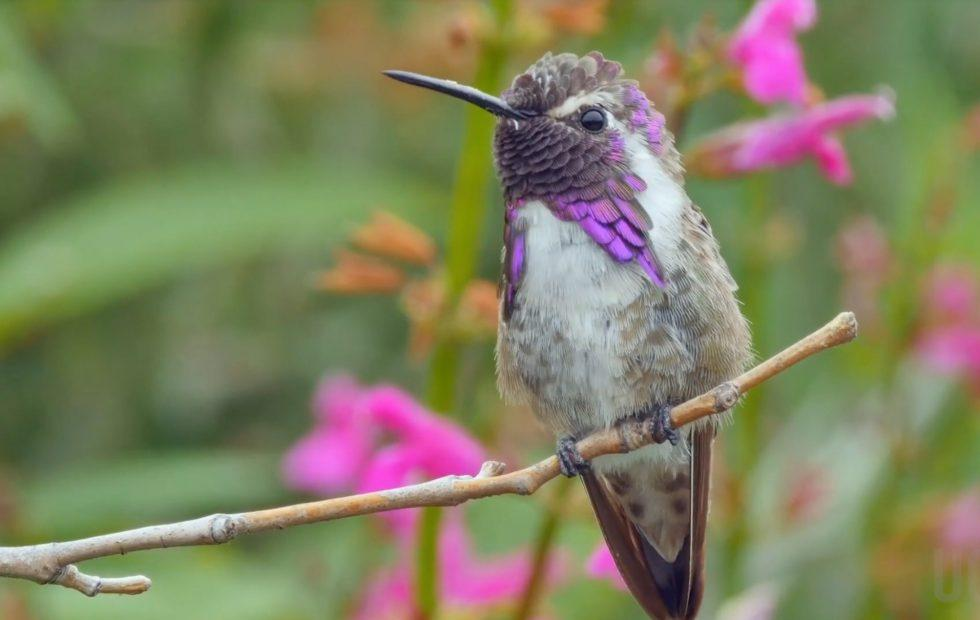 """This hummingbird """"sings"""" with its tail to trick potential mates"""