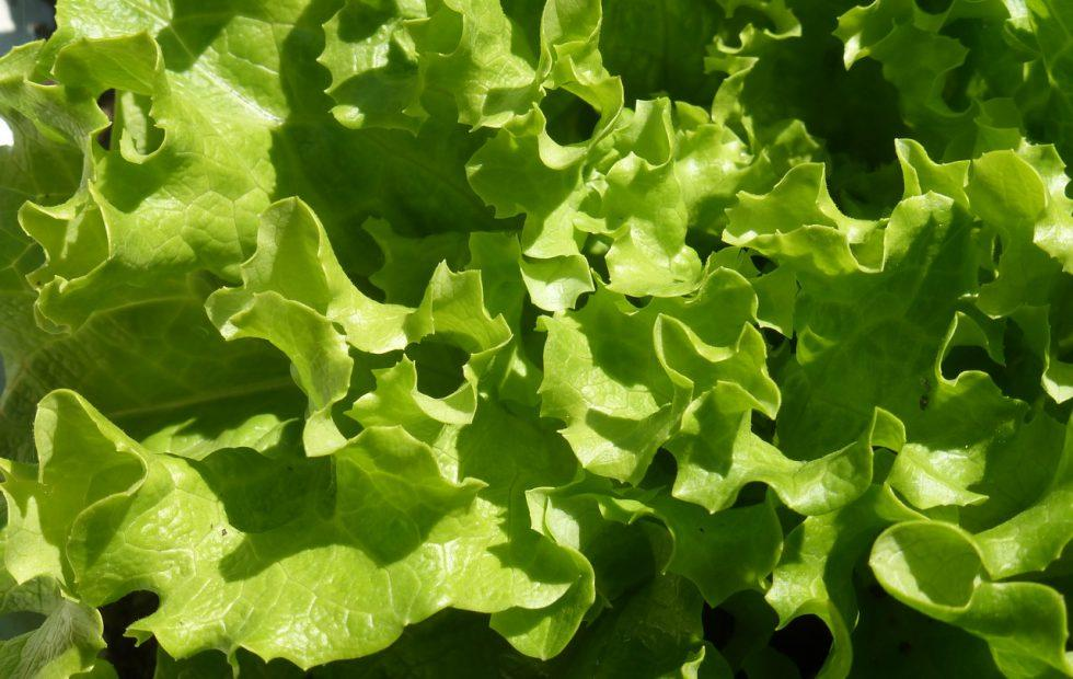 Romaine lettuce E. coli update: 121 infections and one death