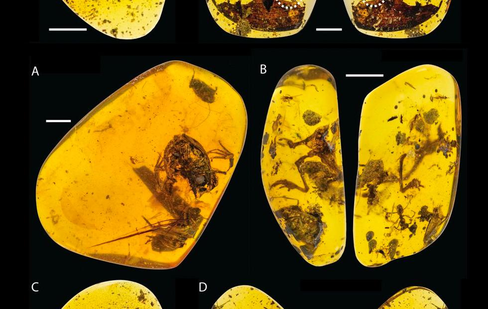 World's oldest rain forest frogs stuck in amber