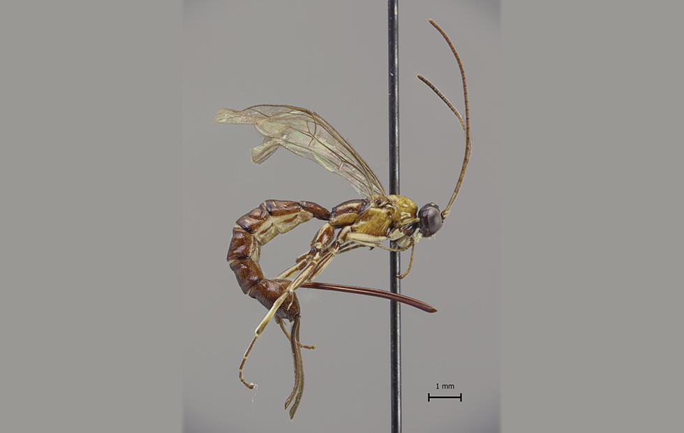 Wasp species with massive stinger found lurking in the Amazon