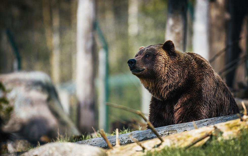 Extinct cave bear DNA lives on in modern brown bears
