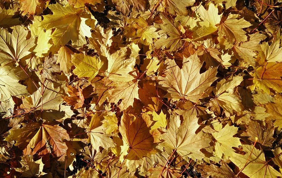 Maple leaf extract may prevent skin wrinkles new research reveals
