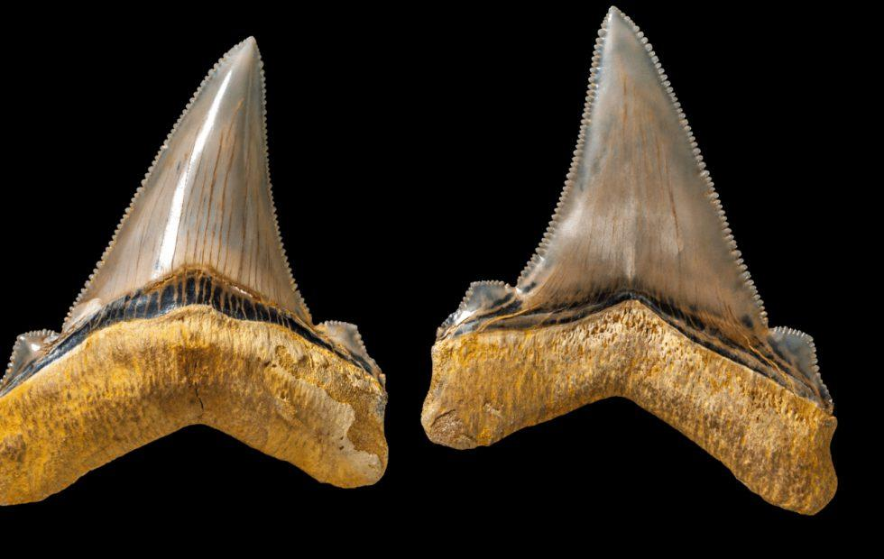 Giant shark teeth found near Dinosaur Cove, Australia
