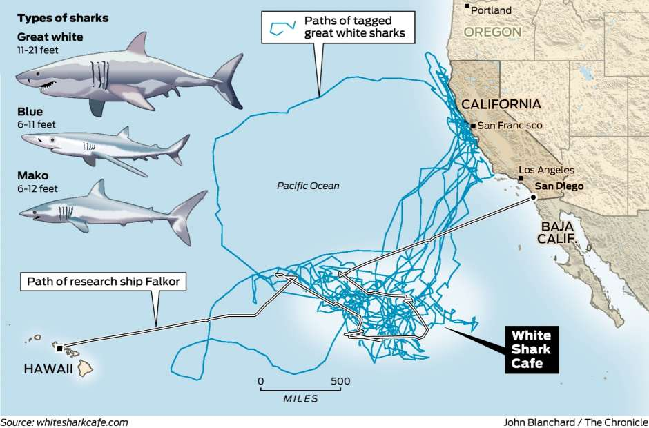 White Shark Cafe: Why sharks travel to this one spot - SlashGear