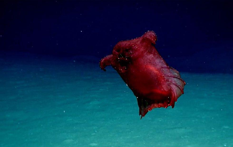 'Headless chicken monster' deep-sea creature caught on camera