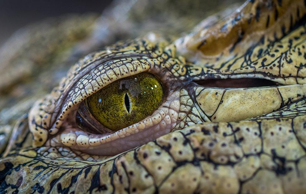 Newly discovered Central African crocodile species has soft skin