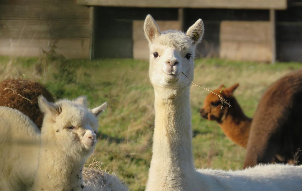 Promising universal flu protection created from vaccinated llamas